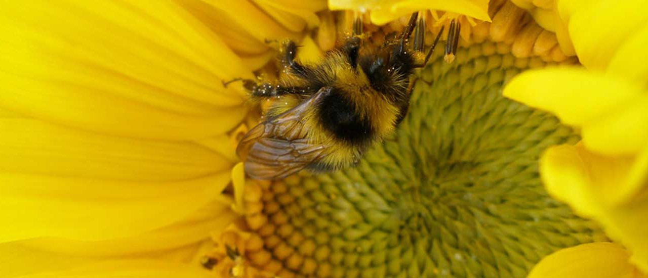 Sheffield Park's summer of sunflowers