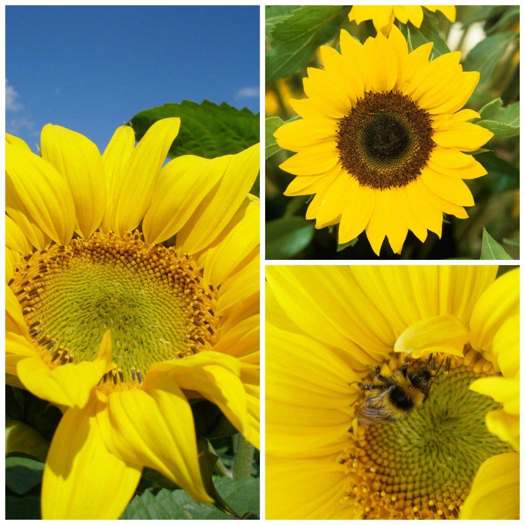 Sunflowers-PicMonkey-Collage