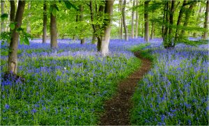 Bluebell walk by John Bugg (flickr)
