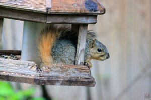 Squirrel in a bird feeder by Swiggen160