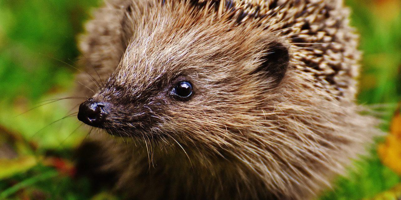 Hooray for Hedgehog Heroes