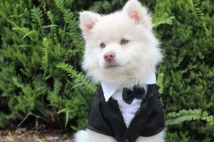 A white dog in clothes.