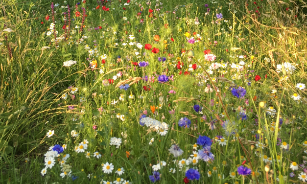 How wildflowers are blooming alongside East Sussex roads